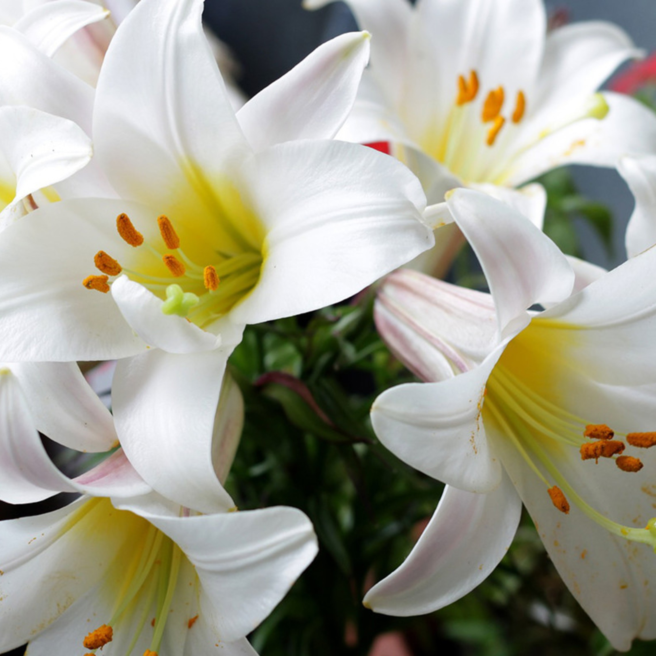 Easter Lilies Featured
